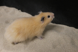 Syrische Hamster Langharig (Goudhamster Langharig) €12,50
