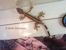 Gestreepte gekko (Gekko Vittatus) v.a. €15,-