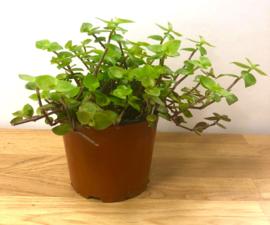 Vitamineplant in Pot - voor Reptielen, Knaagdieren en Vogels