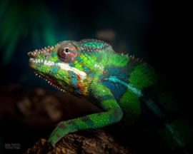 Panterkameleon (Furcifer Pardalis) v.a. €150,-