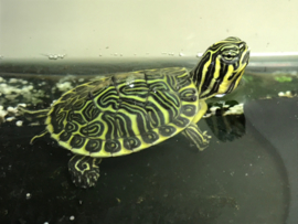 Florida Sierschildpad (Pseudemys floridana peninsularis) v.a. €25,-