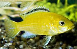 Malawi Cichlide (Labidochromis Caeruleus) €6,95