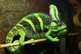 Jemen kameleon (Chamaeleo Calyptratus) v.a. €65,-