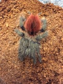 Peruvian Redrump Tarantula/Thrixopelma Ockerti €20,-