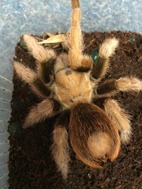 Mexicaanse blonde vogelspin/Aphonopelma chalcodes €65,-