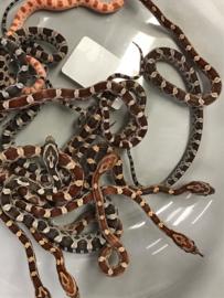 Rattenslang (Phanterophis Guttatus) diverse kleuren  v.a. €15,-