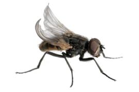 Bakje Krulvliegen