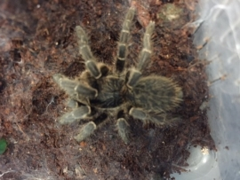 Ceratogyrus Pilliansi v.a. €25,-
