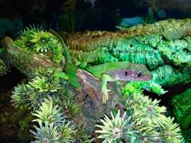 Smaragdhagedis (Lacerta viridis) v.a. €50,-