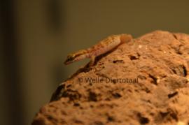 Microgekko (Tropiocolotes Nattereri) v.a. €15,-