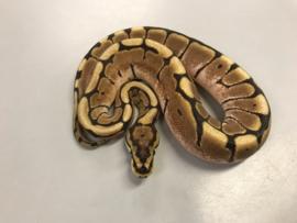 Koningspython (Python Regius Spider) v.a. €90,-