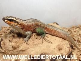 Maskerleguaan (Leiocephalus Personatus) v.a. €27,50