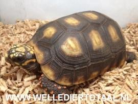Kolenbrander landschildpad (Chelonoidis carbonarius) v.a. €95,-