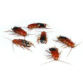Doosje Kakkerlakken (Red Runners)
