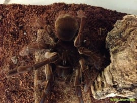 Goliath Vogelspin (Theraphosa Blondi) v.a. €180,-