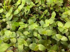 Golliwoog Plant in Pot - voor Reptielen, Knaagdieren en Vogels