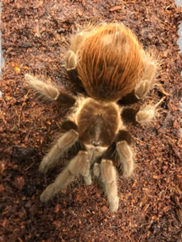 Mexicaanse roodrompvogelspin (Brachypelma Vagans) €25,-