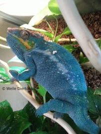 Panterkameleon (Furcifer Pardalis Nosy Be True Blue) v.a. €150,-
