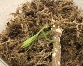 Bidsprinkhaan (Mantis spec.) v.a. €17,50