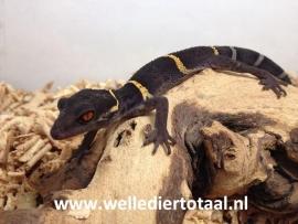 Chinese grotgekko (Goniurosaurus Hainanensis) €75,-