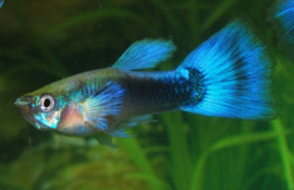 Guppy Man Tuxedo Blauw €3,50