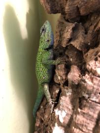 Smaragd stekelleguaan (Sceleporus Malachiticus) v.a. €50,-