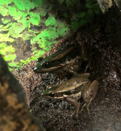 Rana Livida (Green Mountain Frog) v.a. €12,50