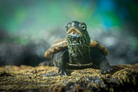 Zaagrugschildpad (Graptemys pseudogeographica) v.a. €25,-