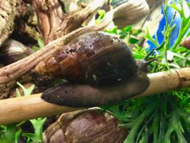 Reuzenslak (Achatina Fulica/ Achatina Purpurea) XXL v.a. €25,-