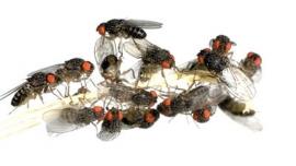 Fruitvliegen klein