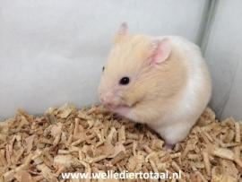 Syrische Hamster (Goudhamster) €12,50