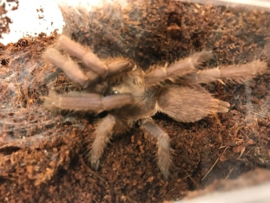 Chilobrachys Huahini (Thaise Vogelspin) €45,-