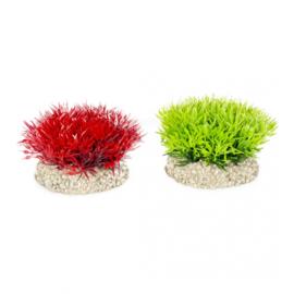Plant Crystalwort Moss  S 5cm