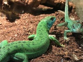 Westelijke smaragdhagedis (Lacerta Bilineata) v.a. €50,-