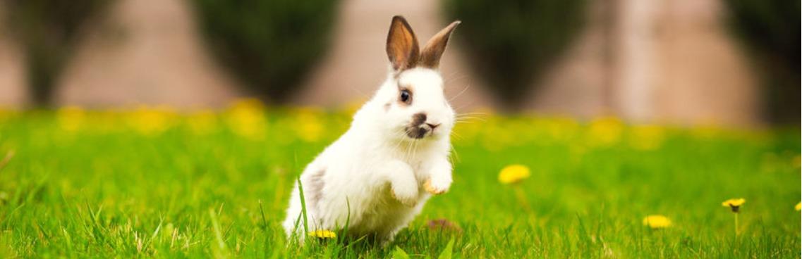 knaagdier konijn