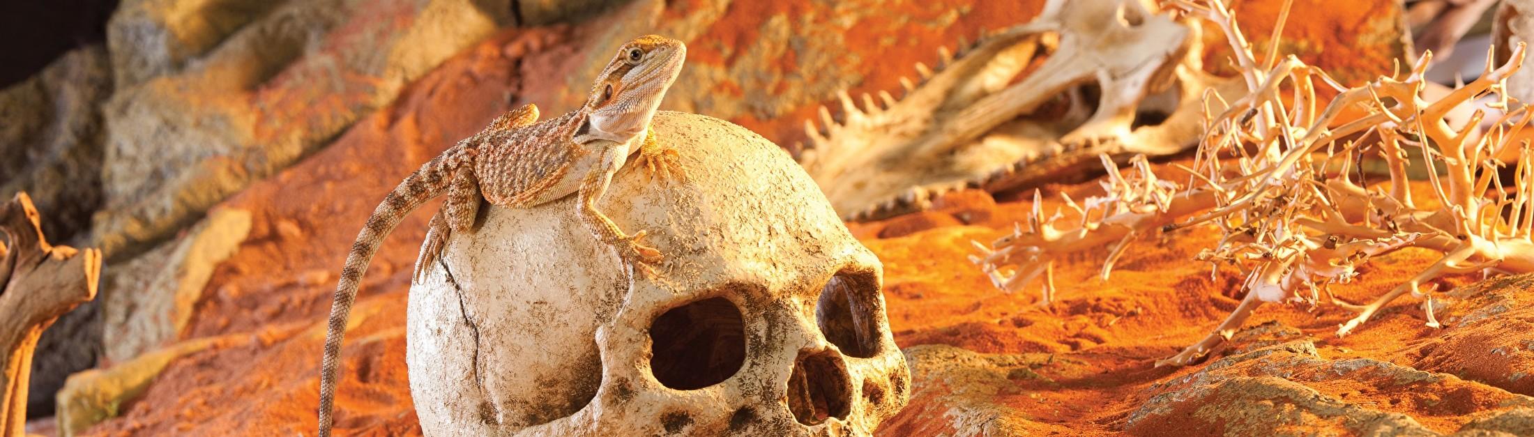 Baardagaam schedel