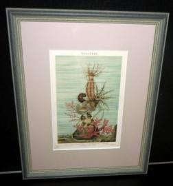 Antieke '' Seeanemonen '' kleurenlitho ca. 1893 -1901