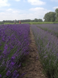 Lavendel, echte (Lavandula angustifolia, var. Australisch) - bio - 10 ml
