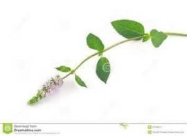 Pepermunt, Mitcham - blad (Mentha x piperita, Mitcham) - bio - 5 ml