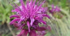 Bergamotkruid, ct. geraniol - kruid (Monarda fistulosa ct. geraniol) - bio - 5ml