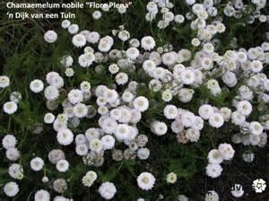 Kamille, Roomse - bloem (Anthemis nobilis - flores) - bio - 5 ml