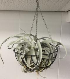 Tillandsia XXL Xerographica (metalen hanger)
