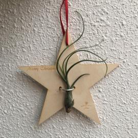 Houten Kerst ster met Tillandsia butzii