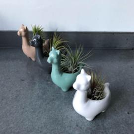 Alpaca  grijs  + airplant