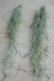 Spaans mos | Tillandsia usneoides