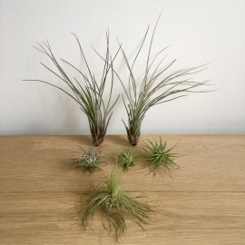 Tillandsia mix (1x magnusiana, 3x ionantha, 2x juncea medium)