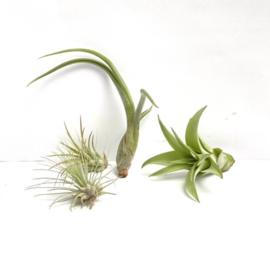 BABY mix: fuego small, argentea, baileyi, multiflora