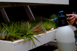 Pflege von Luftpflanzen