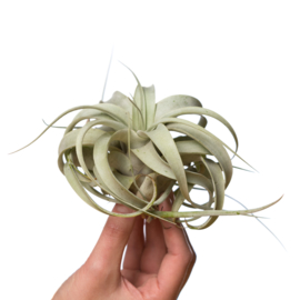 Air plants /  Tillandsia