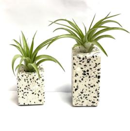 Terrazzo 10cm + tillandsia multiflora